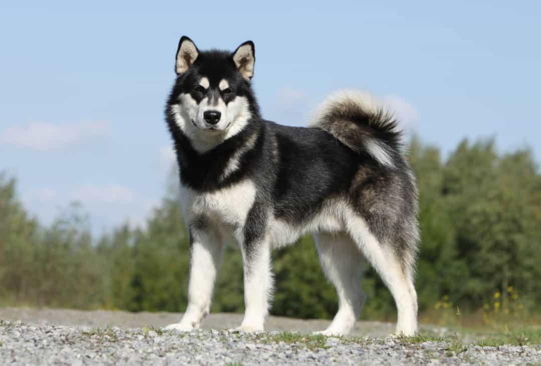 Các bệnh chó Alaska thường hay gặp phải, nguyên nhân và cách chữa trị