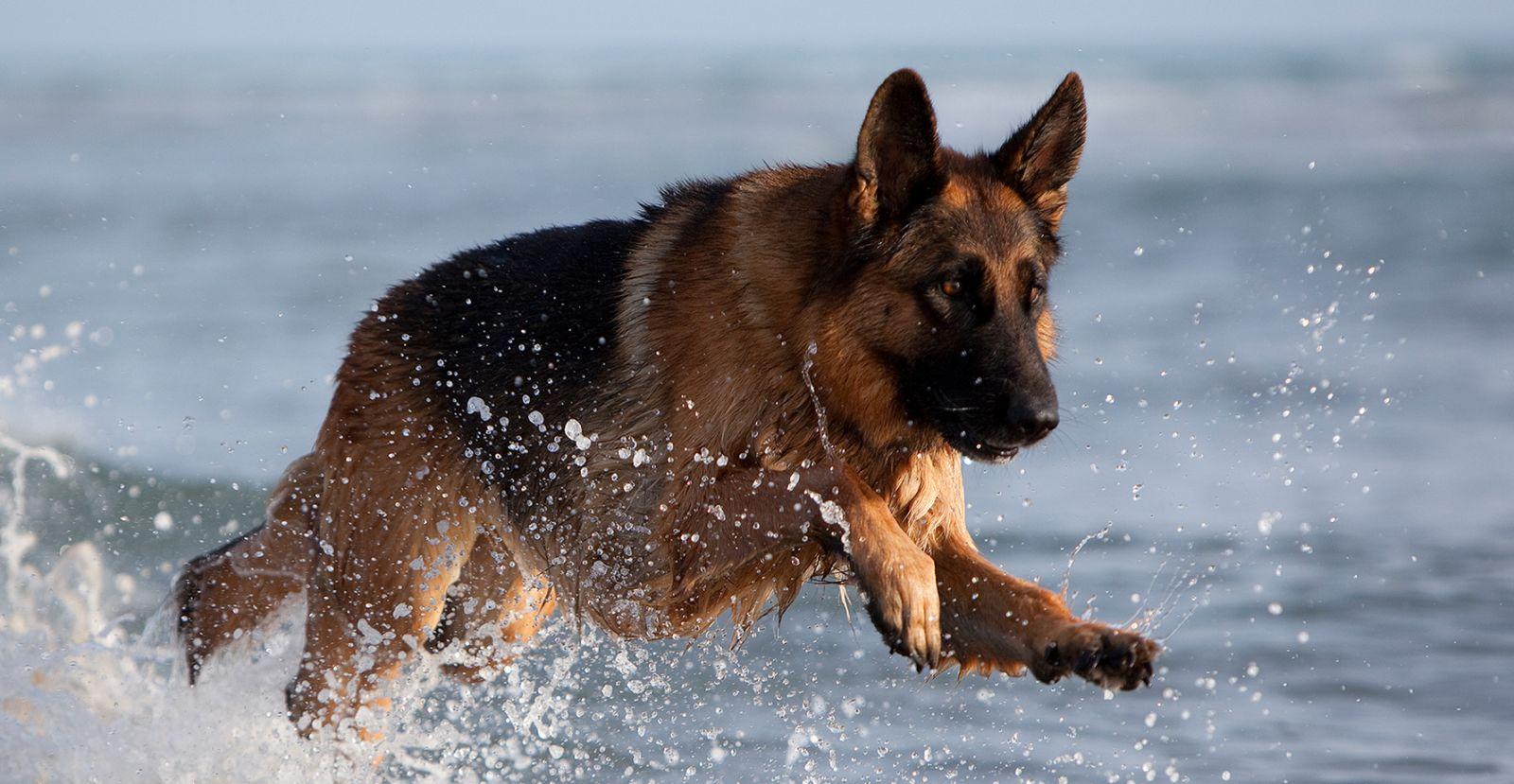 Các loại bệnh thường hay gặp trên chó Becgie và cách chữa trị