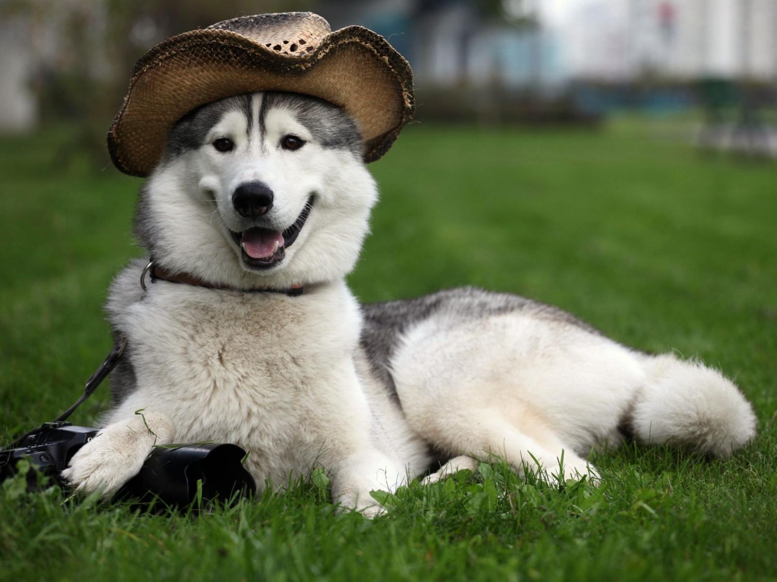 Hướng dẫn cách nuôi dưỡng và chăm sóc chó Alaska ngay tại nhà