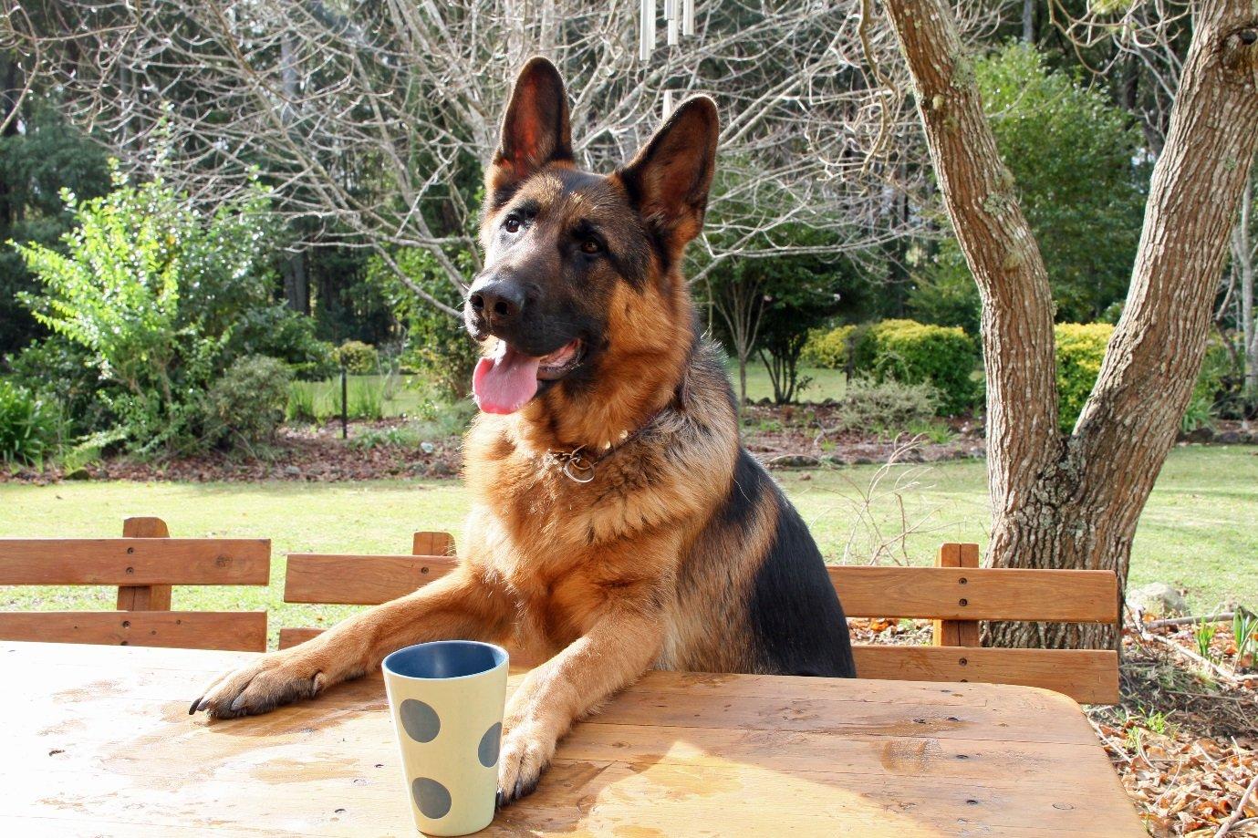 Kinh nghiệm nuôi dưỡng và chăm sóc chó Becgie bạn nên biết