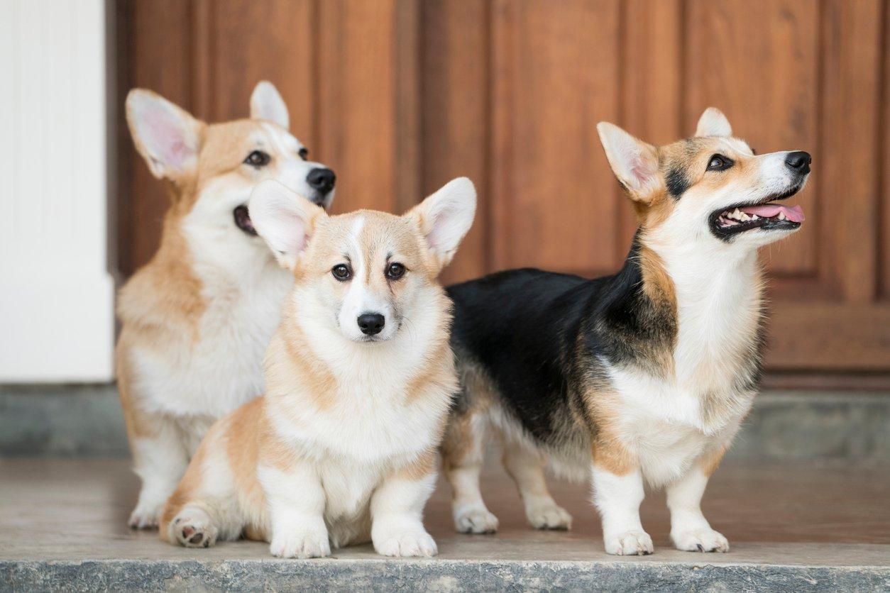 Kinh nghiệm nuôi dưỡng và chăm sóc chó Corgi không nên bỏ qua