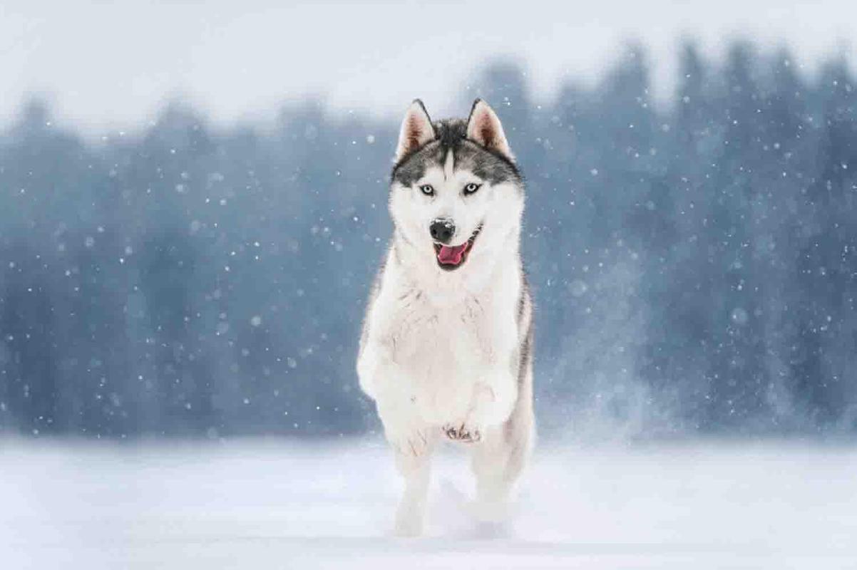 Cách nuôi dưỡng và chăm sóc chó Husky, giúp chó Husky phát triển tốt nhất
