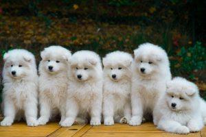 Hướng dẫn cách chăm sóc và nuôi dưỡng chó Samoyed đúng cách