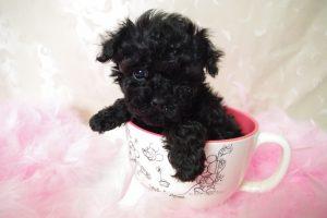 Hướng dẫn cách chăm sóc và nuôi dưỡng chó Poodle