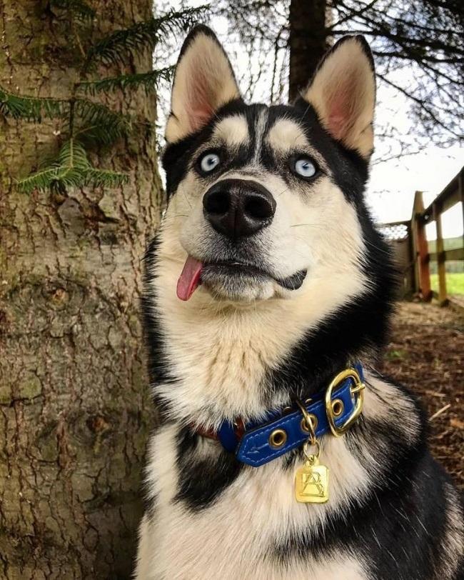 Những loại bệnh thường hay gặp ở chó Husky bạn cần biết
