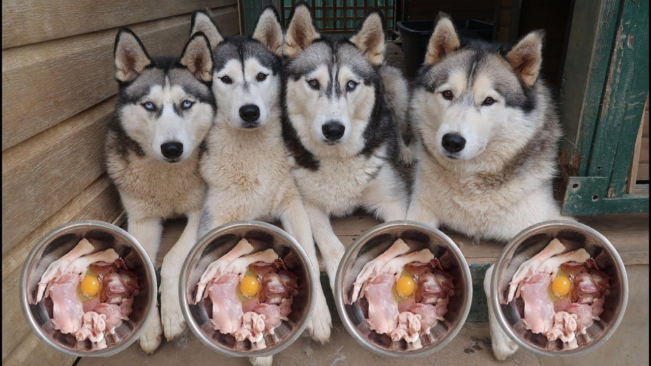 Nên cho chó Alaska ăn gì? Các loại thức ăn dành cho chó Alaska tốt nhất