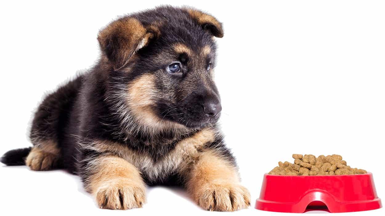 Nên cho chó Becgie ăn gì? Khẩu phần ăn như thế nào?