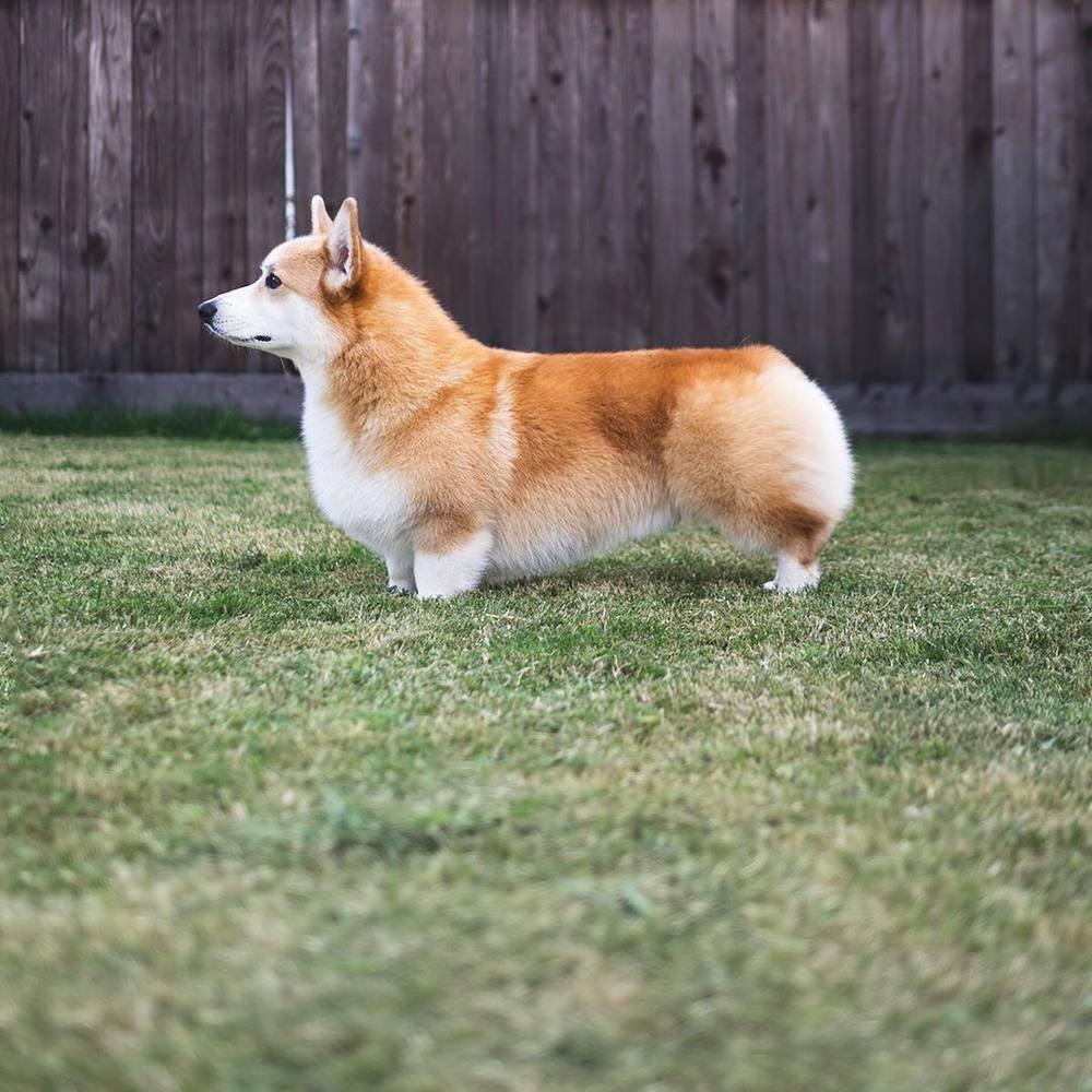 Thức ăn cho chó Corgi, chế độ dinh dưỡng và những điều bạn cần biết