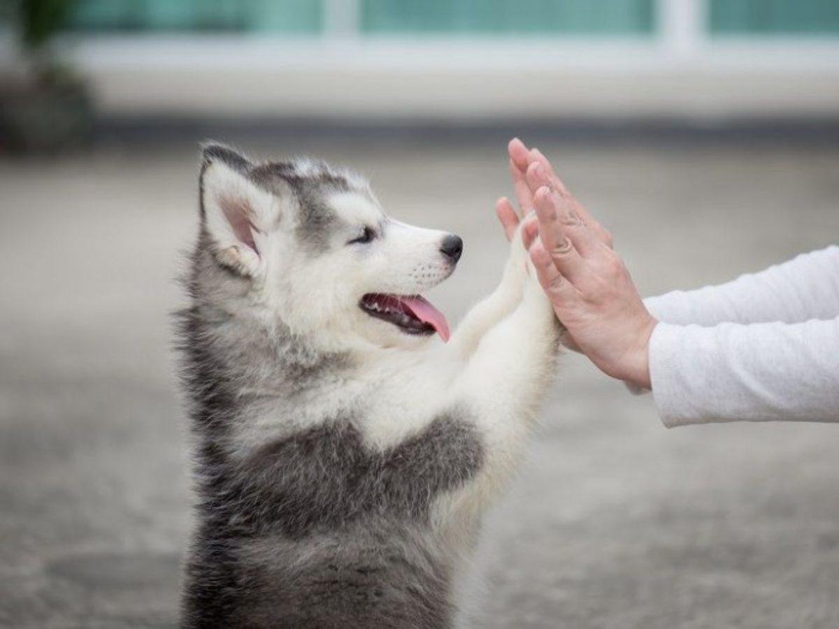 Cách huấn luyện chó Husky biết nghe lời và ngoan ngoãn hơn