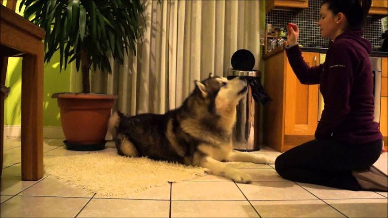 Hướng dẫn cách huấn luyện chó Alaska nghe lời bạn răm rắp