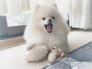 Chó Phốc sóc - Đặc điểm, cách chăm sóc và huấn luyện chó Phốc sóc