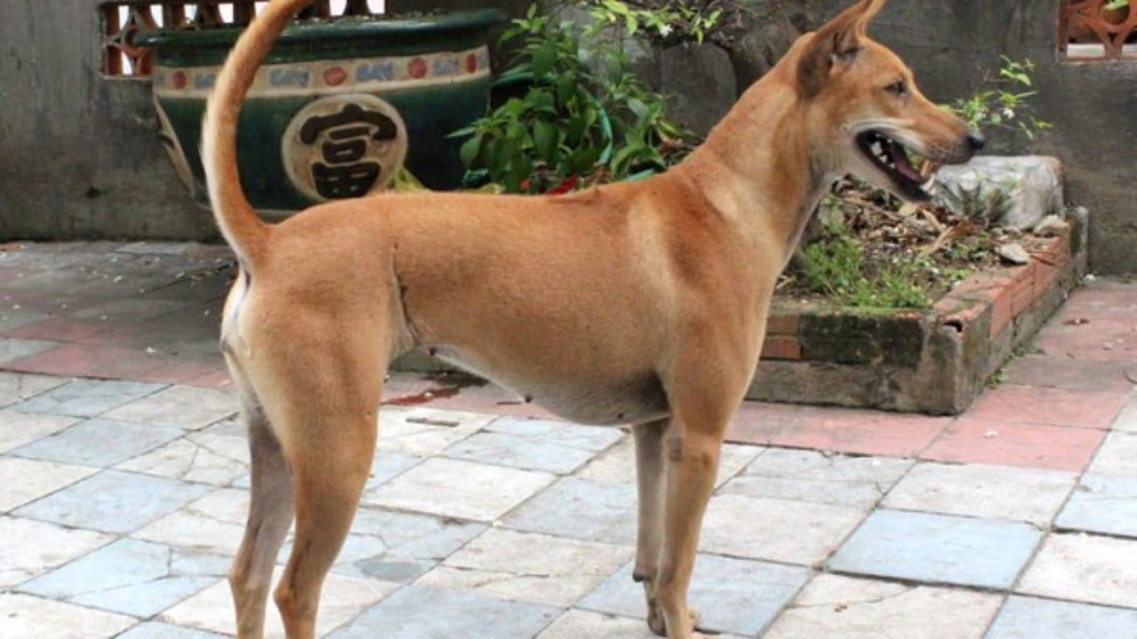 Cách huấn luyện chó Phú Quốc chuyên nghiệp, đơn giản tại nhà