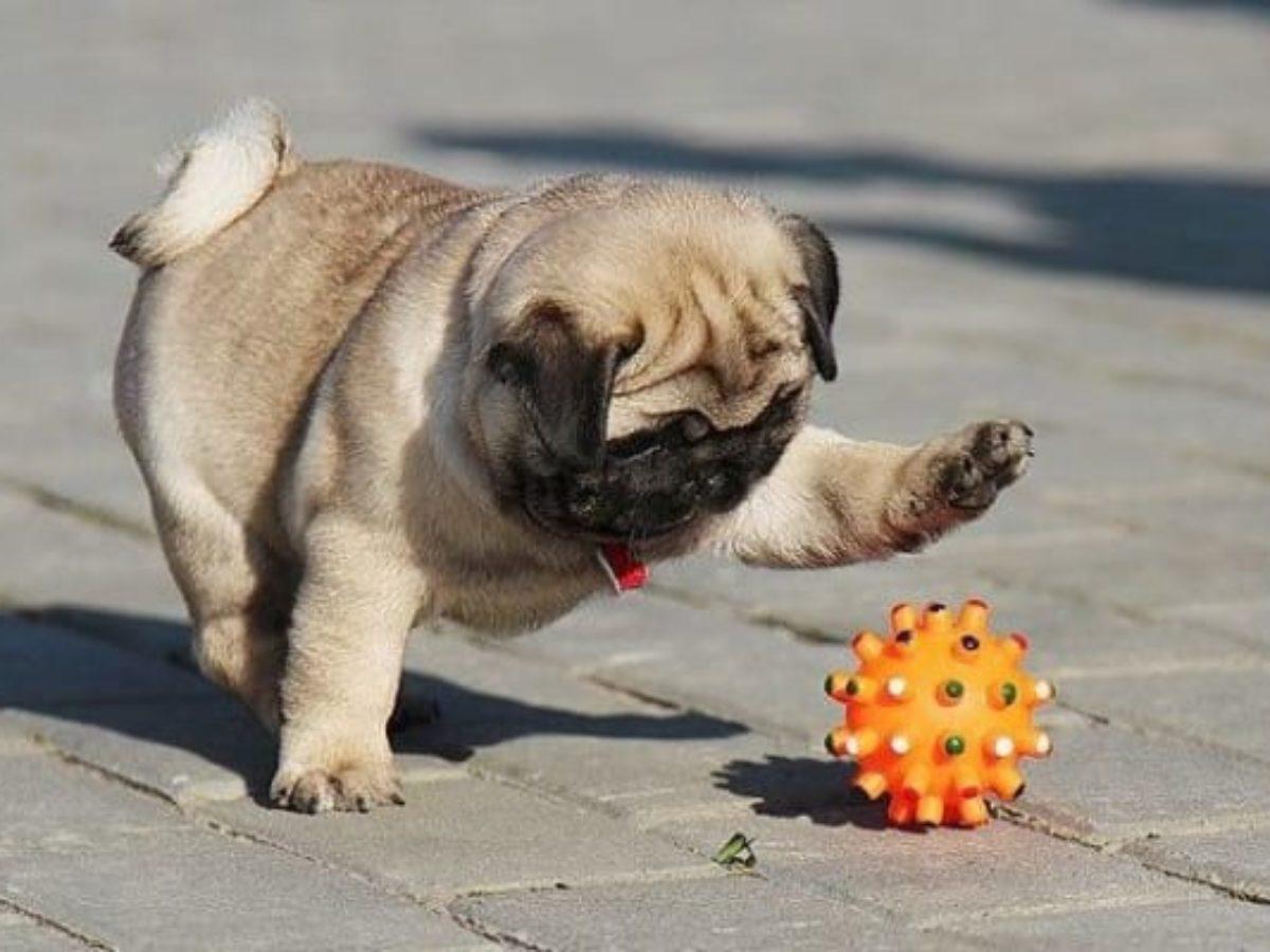 Tổng hợp kinh nghiệm huấn luyện chó Pug và cách nuôi dưỡng chuyên nghiệp