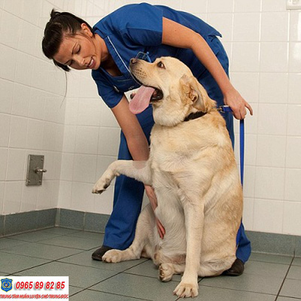 12 giống chó phổ biến và các loại bệnh thường hay gặp phải
