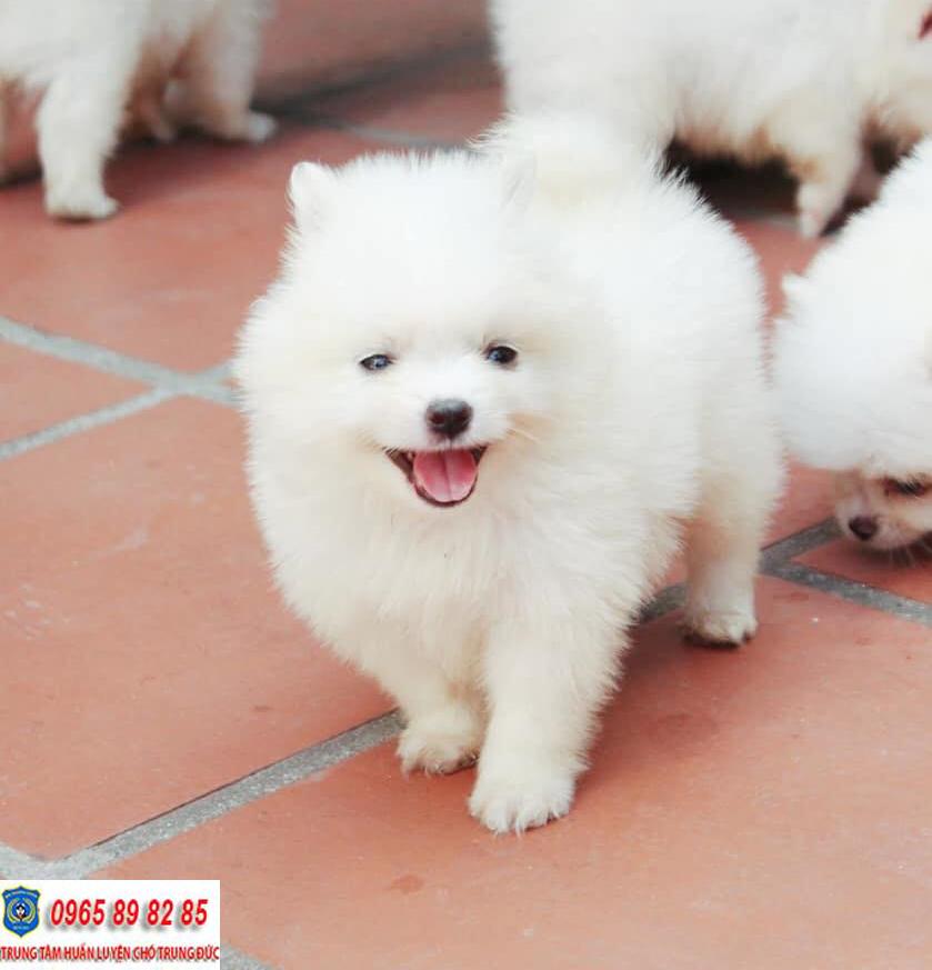 Hướng dẫn cách nuôi chó Phốc Sóc khỏe mạnh và phát triển tốt