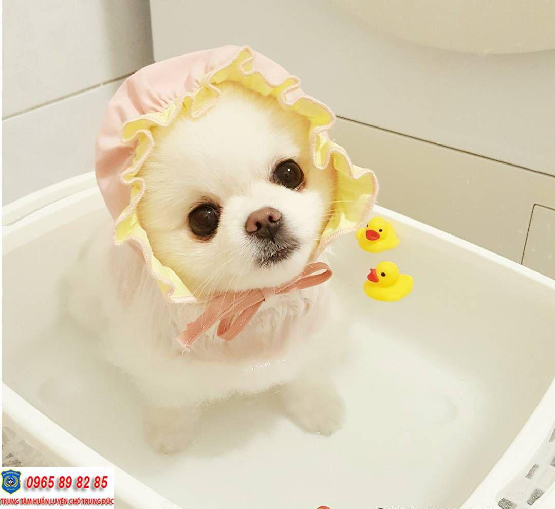 Hướng dẫn cách tắm cho chó Phốc Sóc đúng cách