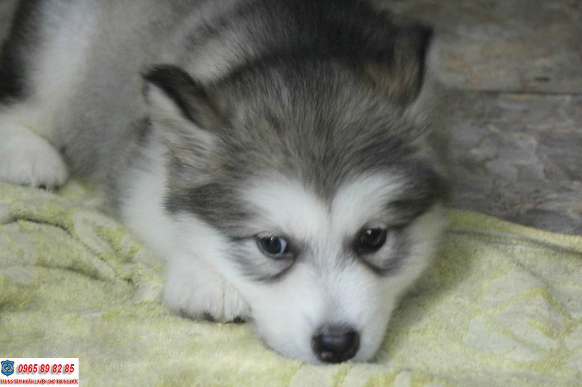 Cách để chăm sóc chó Husky con trở nên nhanh lớn khỏe mạnh