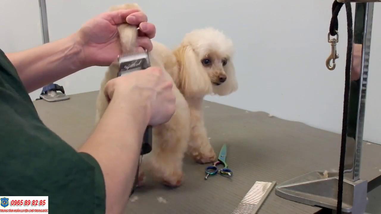 Hướng dẫn cách chăm sóc lông chó Poodle đơn giản mà hiệu quả tại nhà