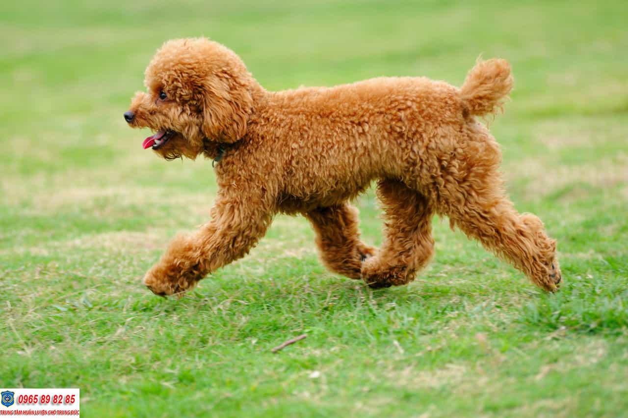 Hướng dẫn cách chăm sóc chó Poodle mang thai sao cho đúng cách