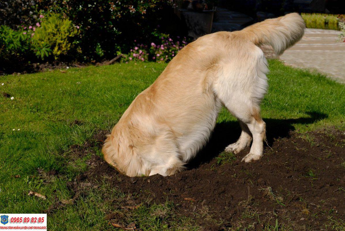 Những lý do chó thường xuyên ăn đất bẩn mà bạn nên biết