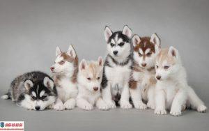 Nên cho chó Husky con uống sữa gì để phát triển khỏe mạnh?