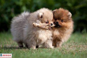 Cách chăm sóc chó Phốc Sóc mang thai và những thông tin bạn cần biết