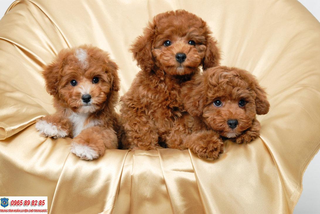 Chó Poodle 2 tháng tuổi nên cho ăn gì là tốt nhất?