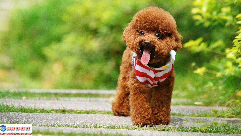Poodle có bao nhiêu loại khác nhau