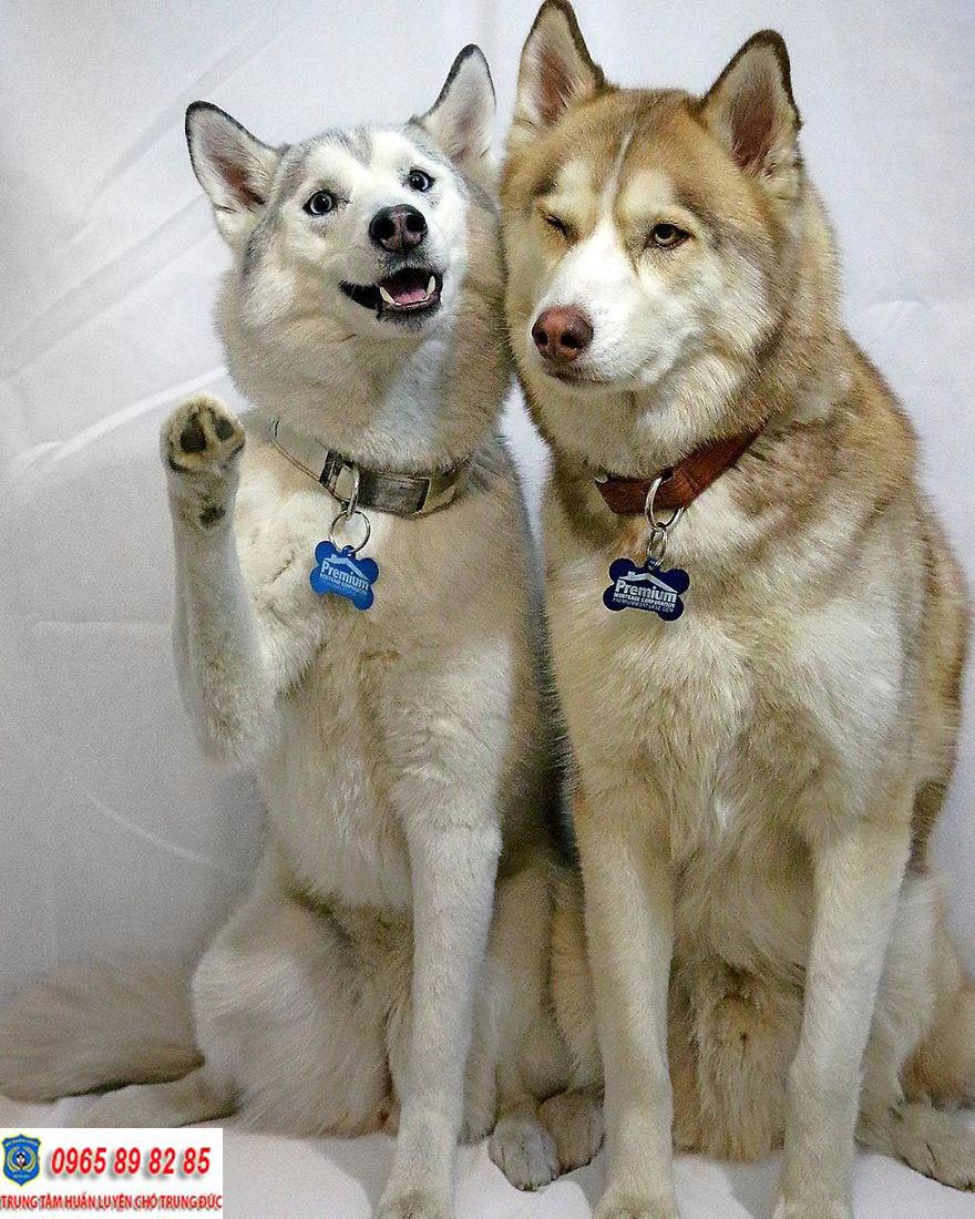 Dây xích chó Husky và những điều bạn mà bạn cần biết