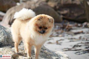 Những thông tin thú vị về chó Phốc Sóc có thể bạn chưa biết