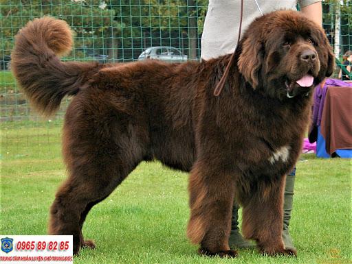 Top những giống chó to lớn nhất trên thế giới