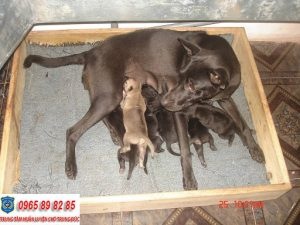 Hướng dẫn cách chăm sóc chó Phú Quốc mang thai tốt nhất