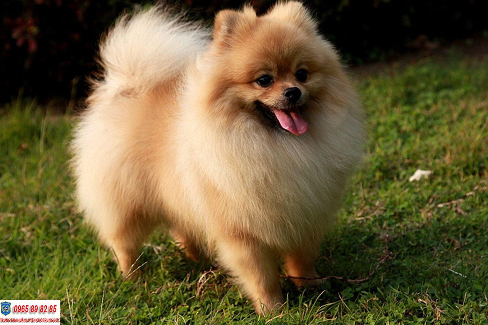 Kinh nghiệm chọn mua chó Phốc Sóc sao cho khỏe mạnh và đạt chuẩn