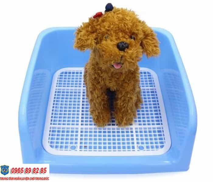 Kinh nghiệm nuôi chó Poodle khỏe mạnh, phát triển toàn diện