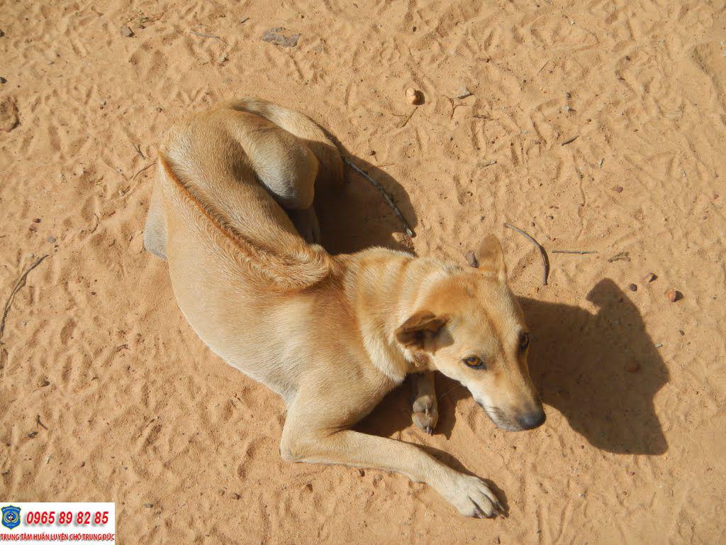 Kinh nghiệm phối giống chó Phú Quốc thuần chủng đạt hiệu quả cao