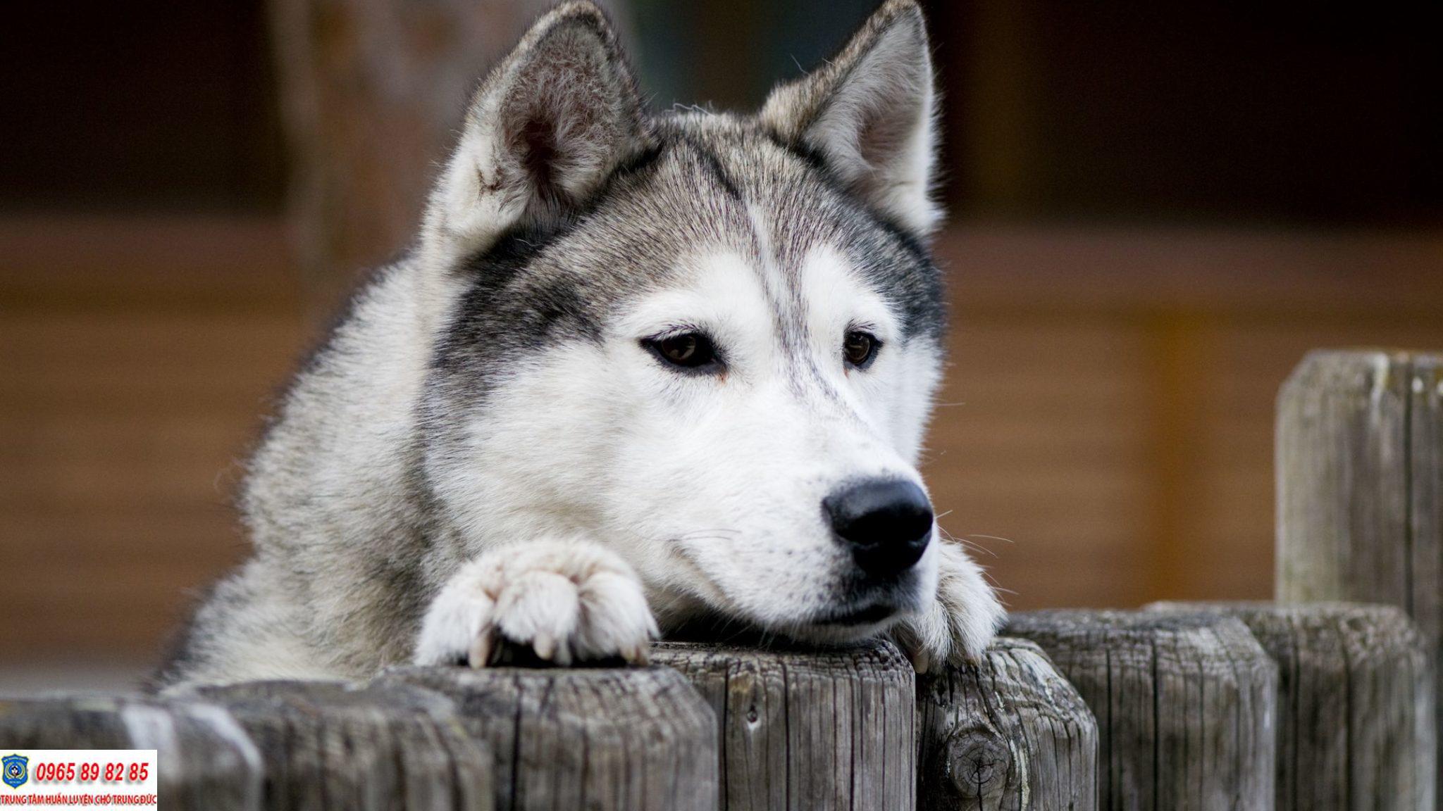 Những lý do khiến bạn nên sở hữu ngay một em Husky lập tức