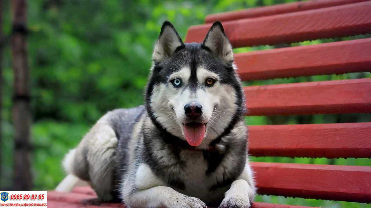 Những màu lông chó Husky phổ biến nhất hiện nay