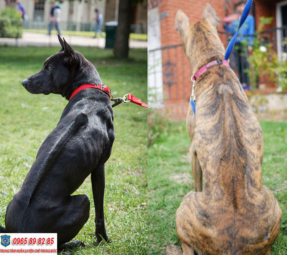 Chó Phú Quốc thuần chủng có những màu lông nào?