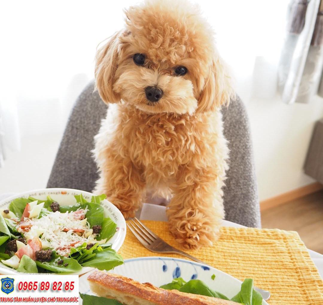 Miniature Poodle: Chú chó với thân hình cỡ nhỏ nhưng đầy cá tính