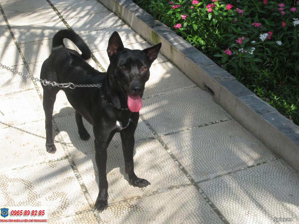 Một số điều cần lưu ý khi chăm sóc chó Phú Quốc