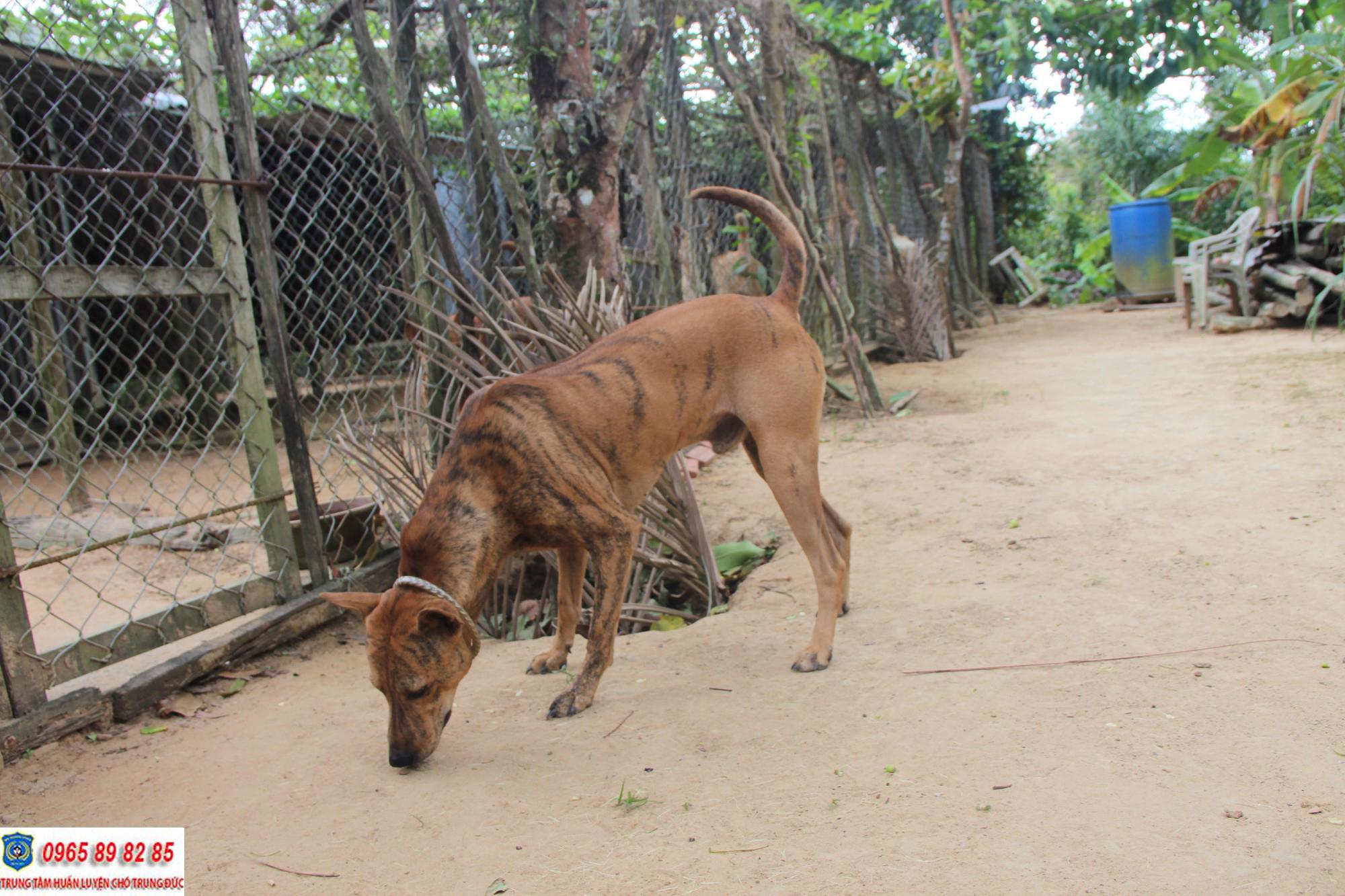 Những bệnh chó Phú Quốc thường hay gặp phải