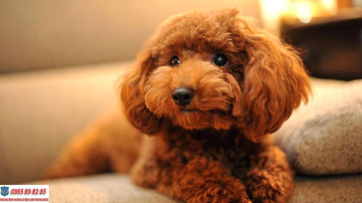 Những căn bệnh mà chó Poodle thường hay gặp phải bạn nên biết