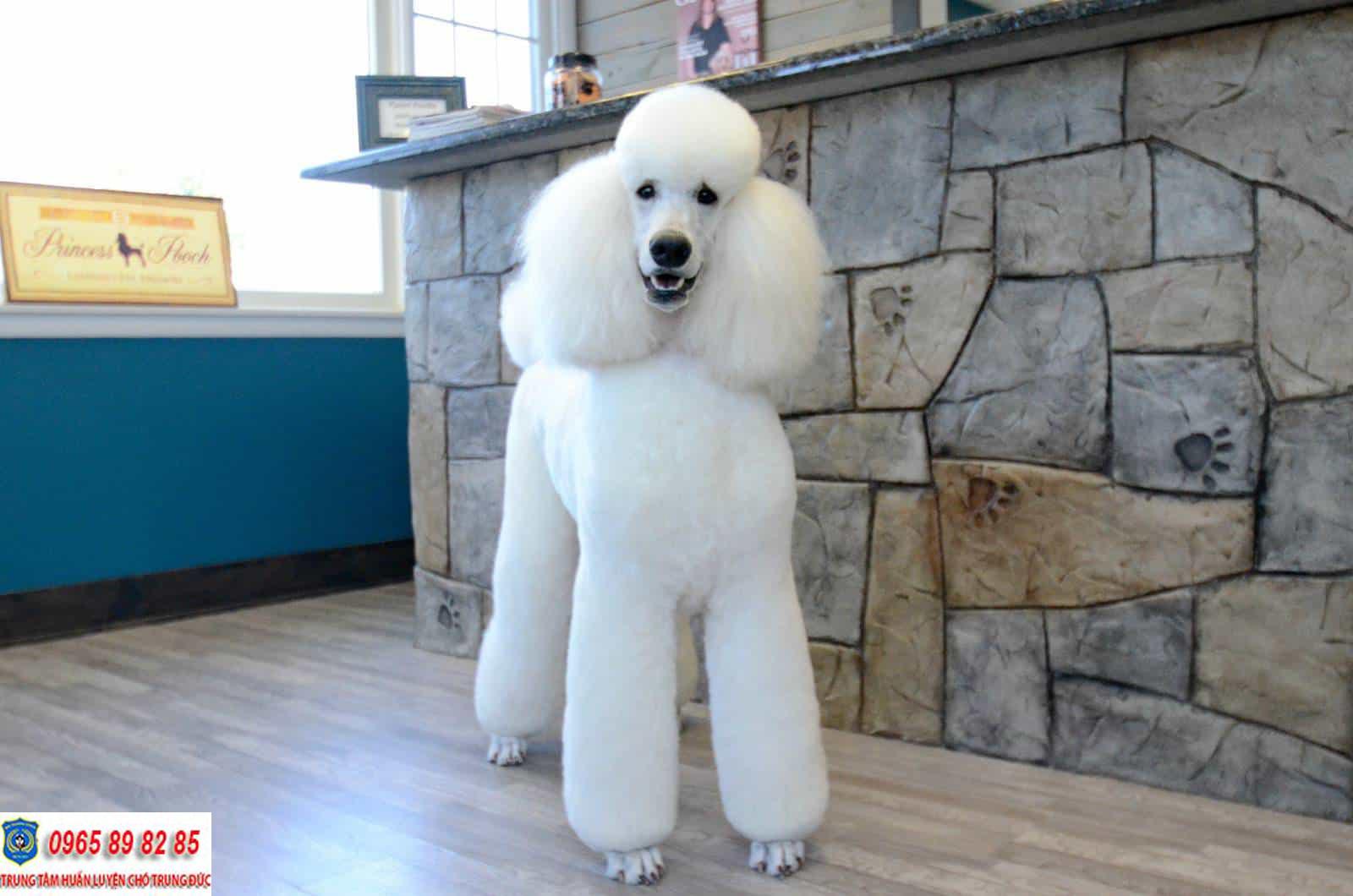 Những màu lông chó Poodle đẹp nhất trên thế giới
