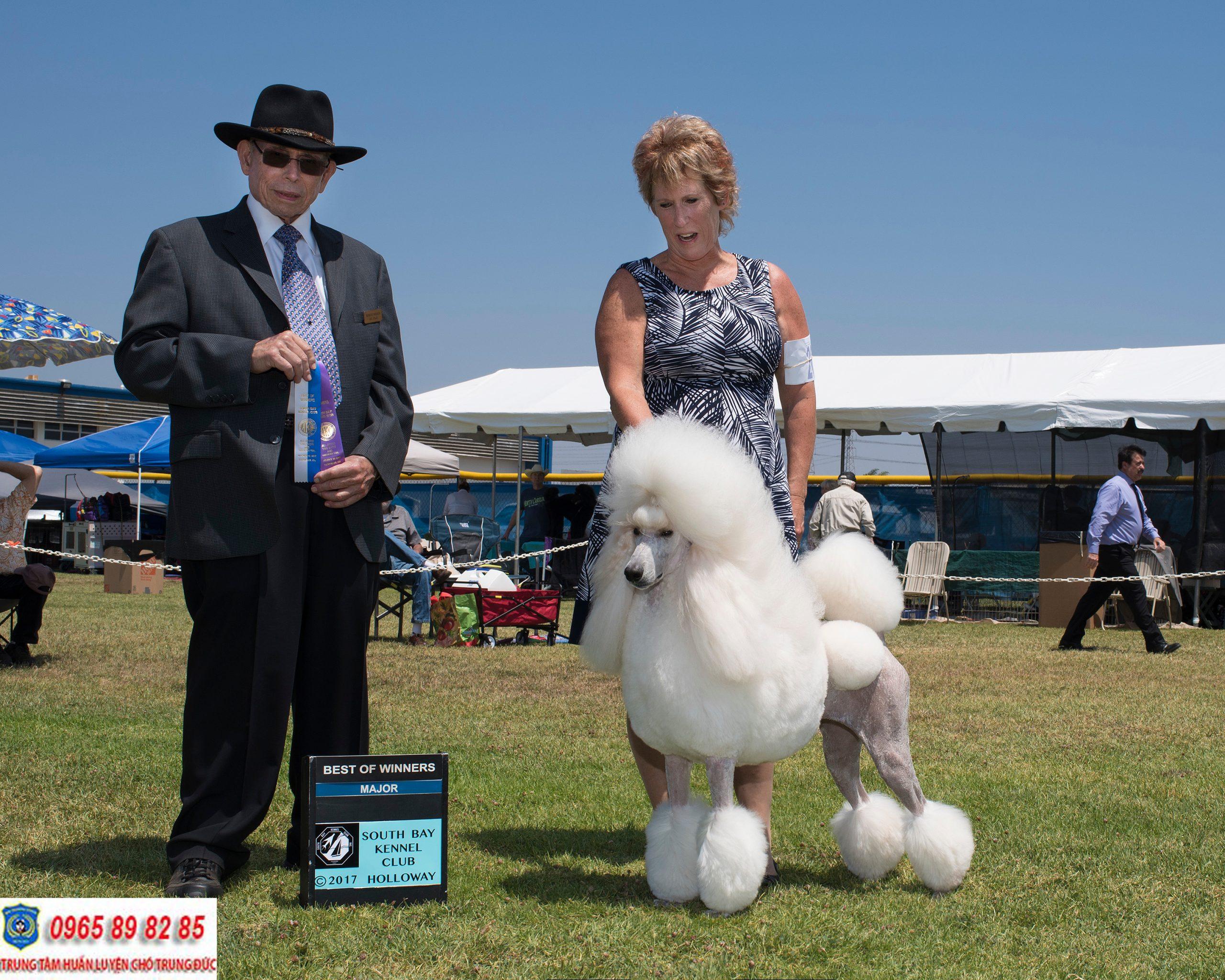 Standard Poodle – Giống chó Poodle có kích thước lớn nhất