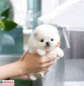 Teacup Phốc sóc - Giống chó nhỏ nhắn nổi tiếng trên thế giới