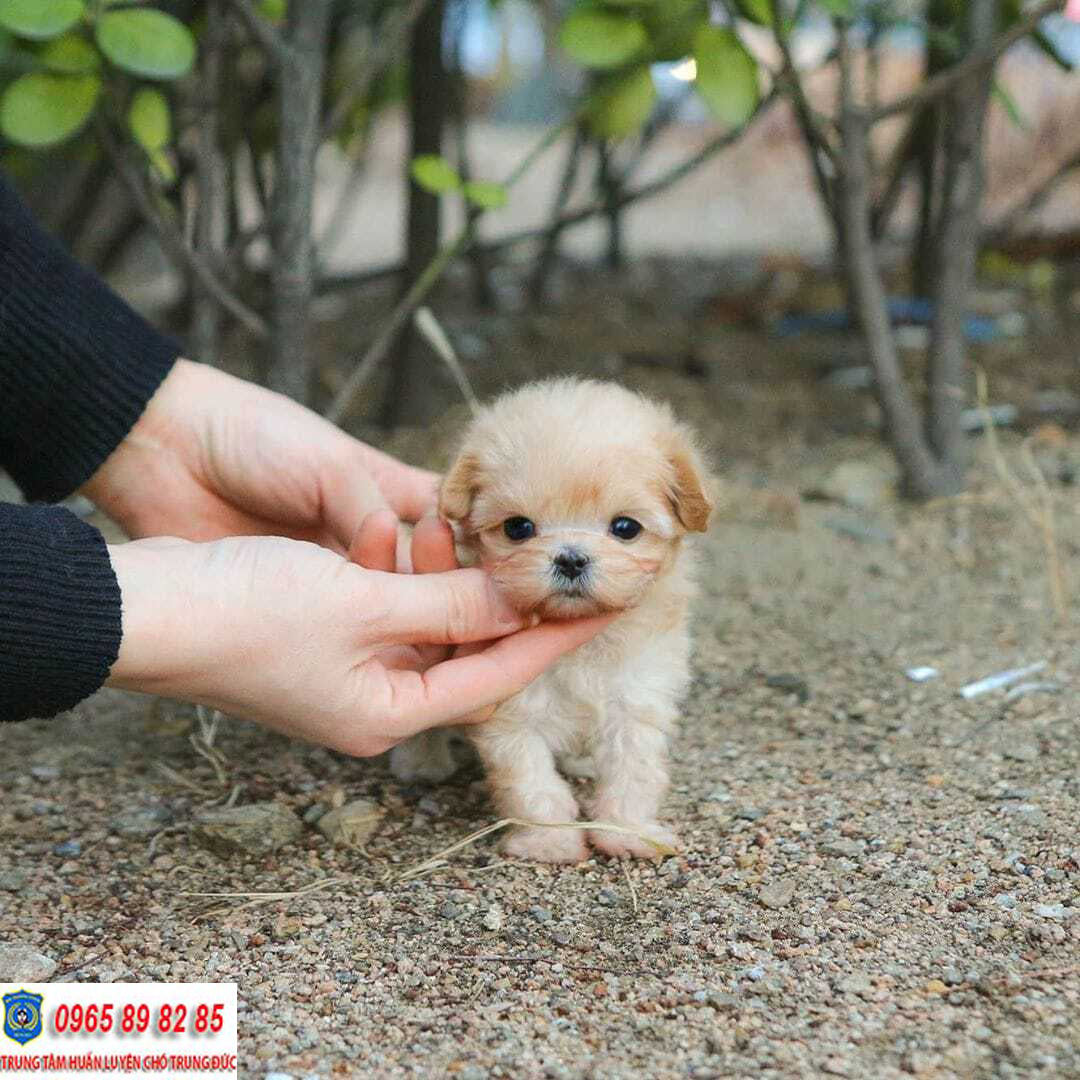 Teacup Poodle - Có nên chọn nuôi Teacup Poodle hay không?