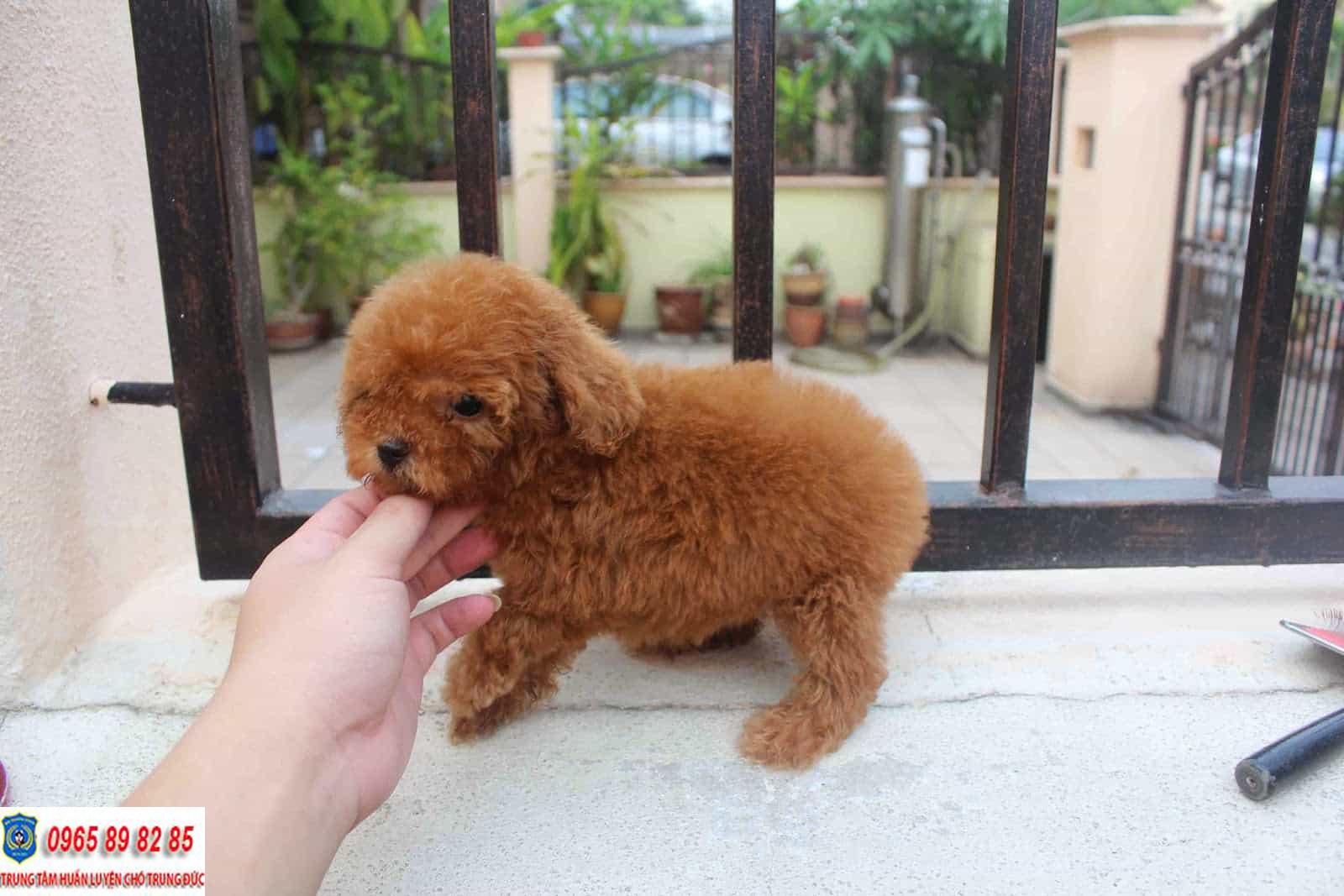 Tiny Poodle - Tổng hợp tất tần tật thông tin về giống chó đáng yêu này