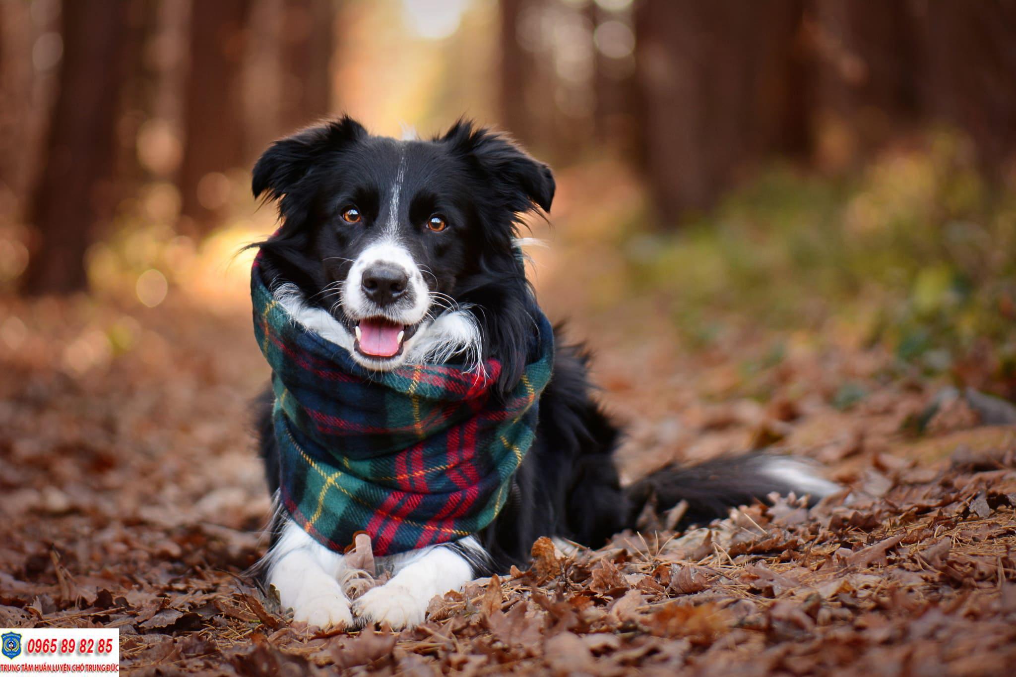 Top 5 giống chó thông minh nhất trên thế giới