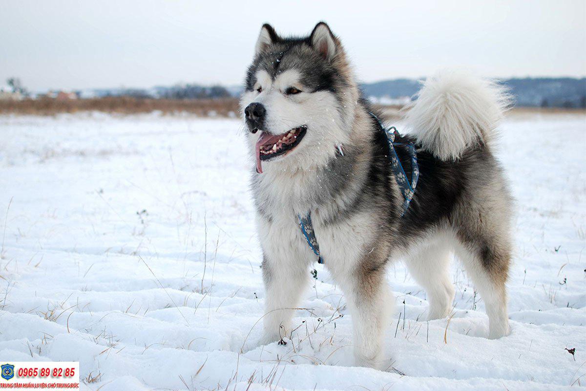 Top 5 loài chó cảnh đẹp nhất trên thế giới