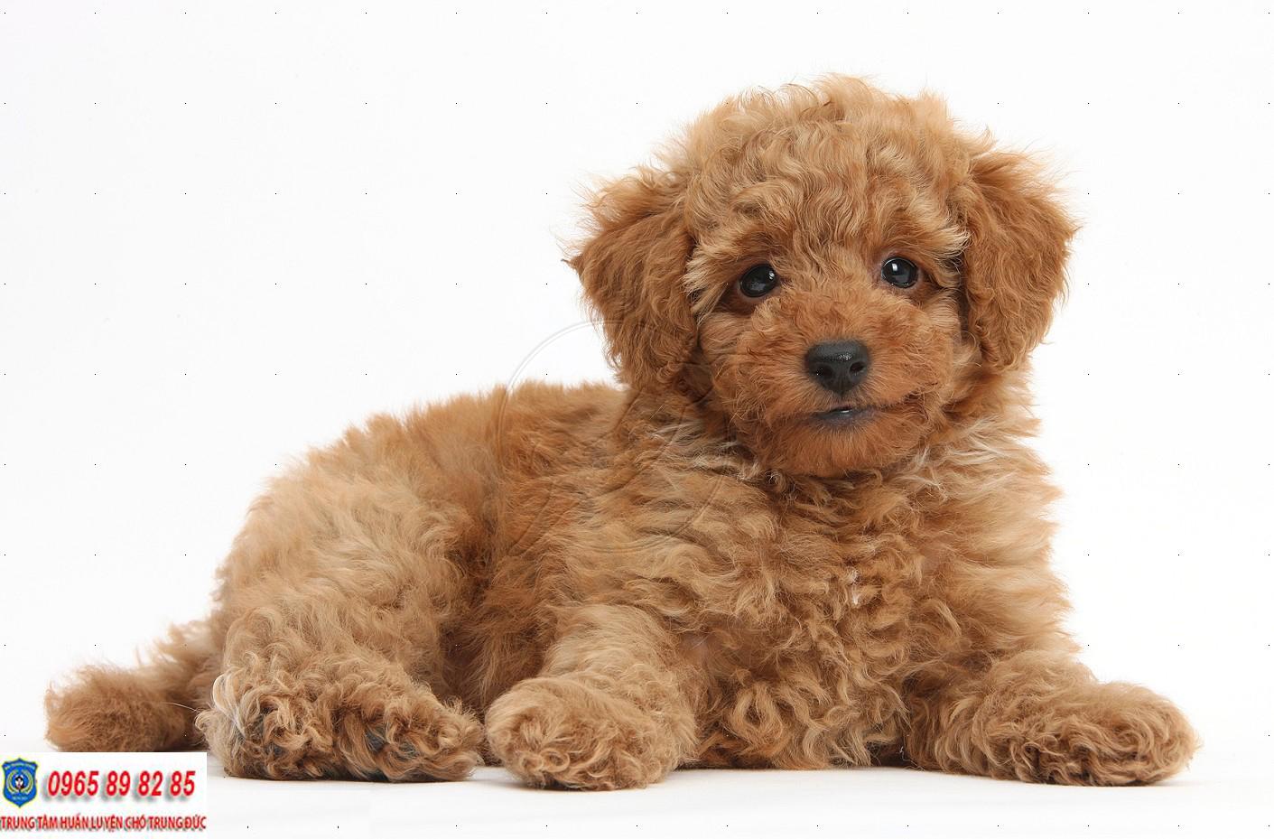 Toy Poodle - Giống chó được yêu thích nhất